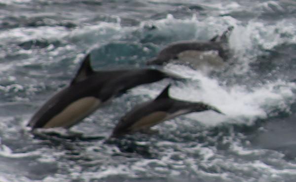 Cetaceans etc South Africa